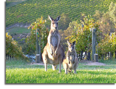 kangaroos in vineyard